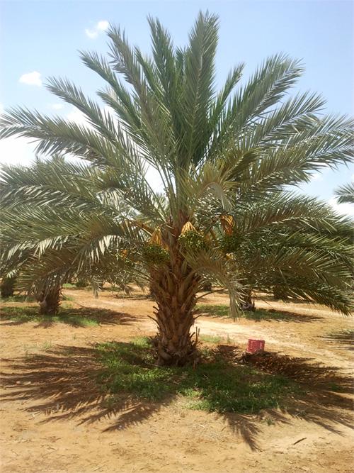 עץ תמר אורגני, בן 5 שנים, מזן מג'הול