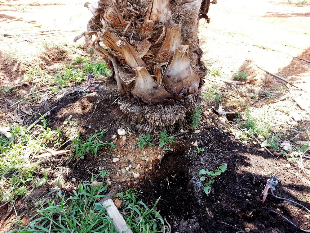 תילול בעץ תמר אורגני