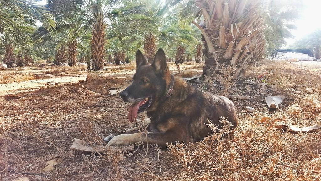 נוריס - הכלב הראשון שמחפש חידקונית במטעים